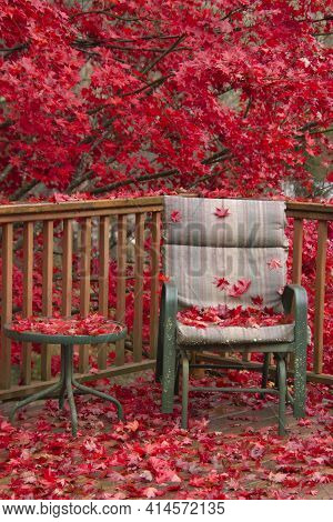 Brilliant Red Japanese Maple Tree Leaves Swamp A Wooden Deck And Chair In Autumn
