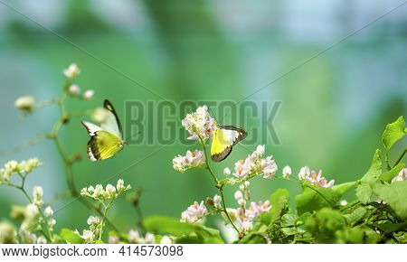 Beautiful Yellow Butterflies In Flight And Pink Creeper Flowers In Bloom With Green Leaves. Spring A
