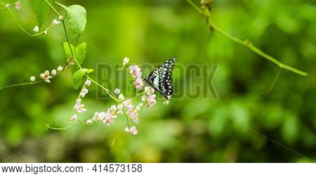 Beautiful Blue Butterfly In Flight And Branch Of Pink Creeper Flowers. Banner Format, Copy Space. Na