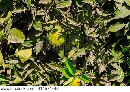 Unripe Tangerines Hanging On Tree Branches In The Garden