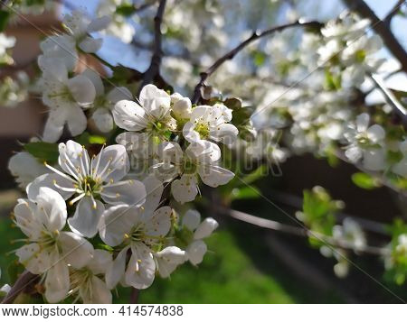 Plum Blossom White Petals Of Blooming Cherry Close Up At Sunny Day. Beautiful Petals Of Fresh Bloom