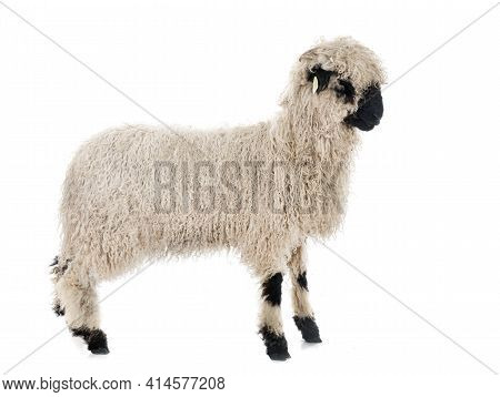 Valais Blacknose In Front Of White Background