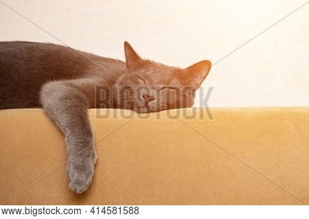 Gray Cat Sleeps With Its Paws Dangling On The Back Of A Mustard-colored Sofa, Sunlight.