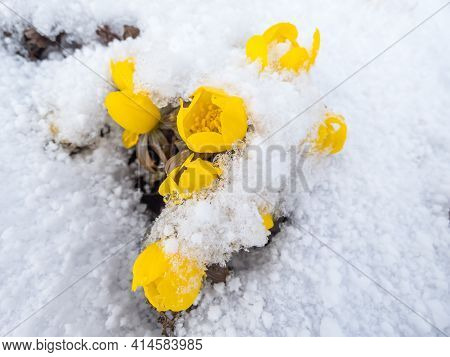 Bright Yellow Flower - Winter Aconite (eranthis Hyemalis) In Bloom In Sunlight Covered With Snow In