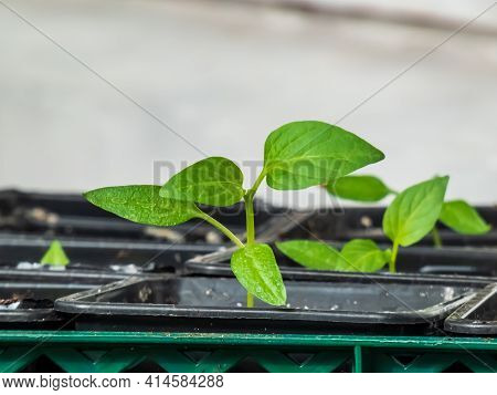 Home-grown Small Pepper Plants Growing On A Window Sill. Indoor Gardening And Germinating Seedlings.