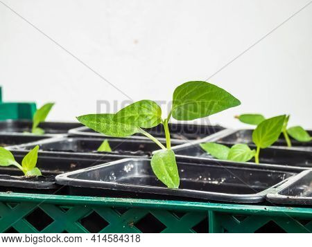 Macro Shot Of Home-grown Small Pepper Plants Growing From Seeds On A Window Sill. Indoor Gardening A