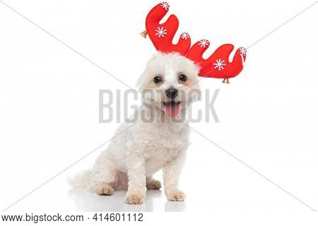 seated cute bichon dog is wearing red reindeer horns and sticking out tongue on white background