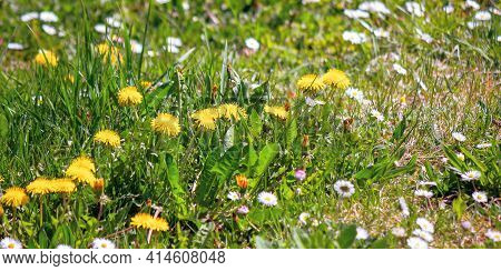 Dandelions And Daises Close Up On The Green Lawn. Spring Nature Background. Weeds Growth Problem Con