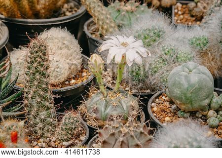 Cactus Flowers, Gymnocalycium Damsii With White Flower Is Blooming On Pot, Succulent, Cacti, Cactace