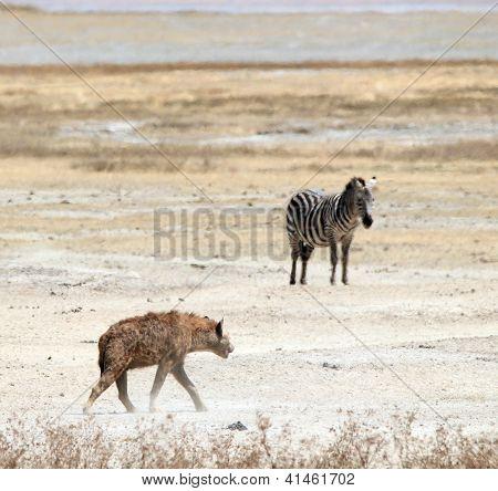 Hyena and Zebra