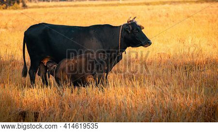 Young Calf Drinking Mothers Milk In The Evening Paddy Field While Mother Cow Watchful Of Surrounding
