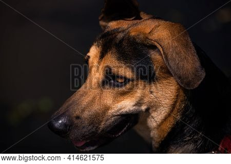Young German Shepard Dogs Face Close-up Portraiture Photograph. Some Birthmarks On The Dog's Face. L