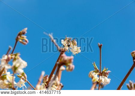 Honey Bee Collecting Pollen From A Flower. Bee Foraging On A Spring Flowers. Honey Bee Covered With