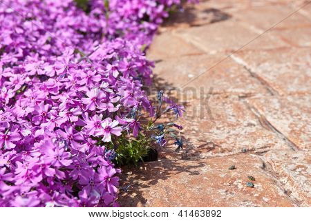 Lilac Phlox