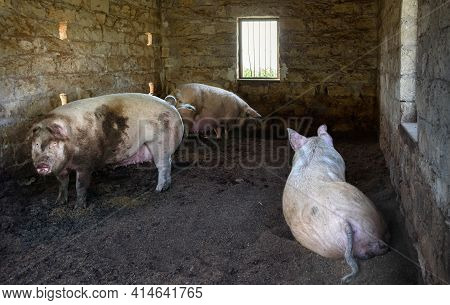 Three Little Pigs In A Brick House. Farm Animals In Traditional Cyprus Village