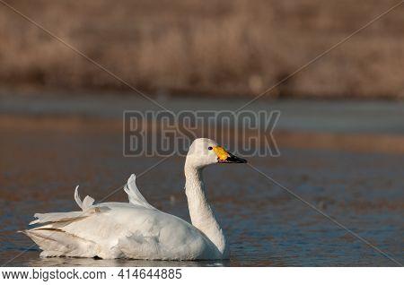 Whooper Swan, Cygnus Cygnus, Single Bird On Water.
