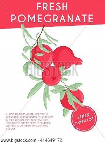 Pomegranate Fruits On Branch With Leaves Vector Hand Drawn Card Template. Fresh Pomegranate.