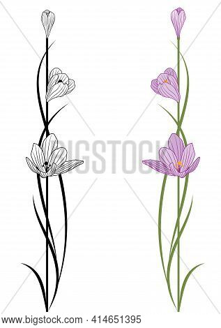 Set Vector Illustrations With Flowers Of Crocus In Black And White And Colors.
