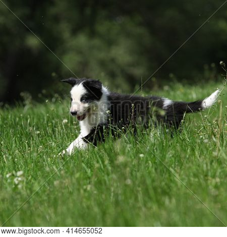 Adorable Puppy Of Border Collie
