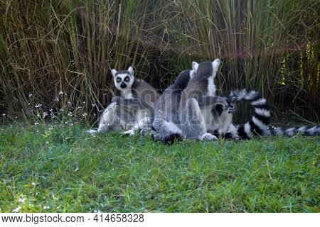 Cute Gray Ring Lemurs With Striped Tails Sitting In Grass Close-up And Playing. Lemurs In Wildlife