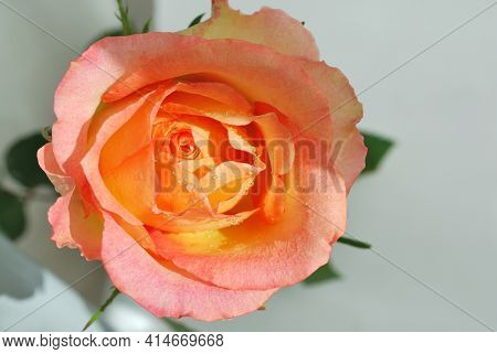 Very Beautiful Delicate Light Pink Rose Close Up