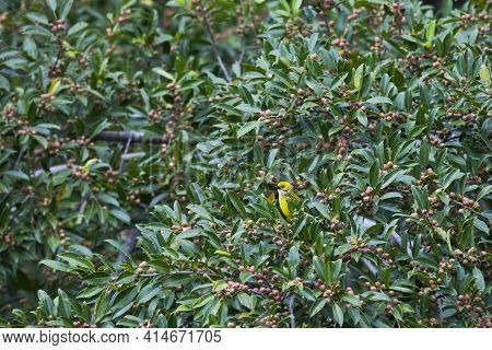 A Silver-throated Tanager, Tangara Icterocephala, Feeding In A Fig Tree