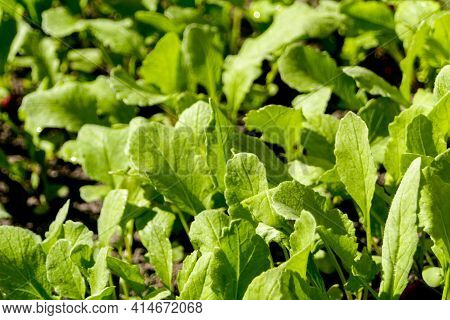 Defocus Close-up Radish Leaves Texture. Organic Radish Grows In The Ground. Young Radishes Grow In A