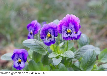 Violet Pansy Flower, Closeup Of Blue Pansy In The Spring Garden. Blurred Background. Edible Flowers.