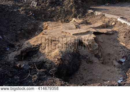 Removing An Old Tree, A Large Stump With Roots In The Ground