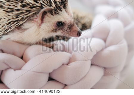 Hedgehog. African Pygmy Hedgehog In A Gray Wicker Bed On A Blurred Light Background.pets. Gray Littl