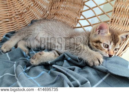 Touching Little Grey Kitten, British Cat Feline Young