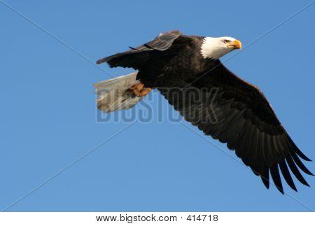 Squamish Bald Eagle