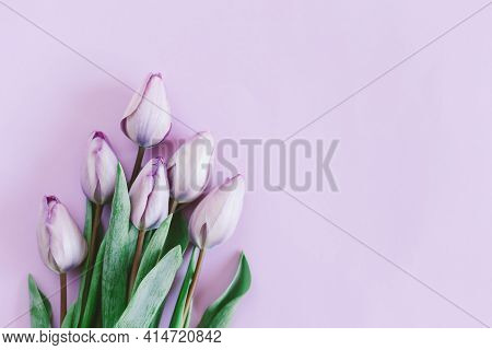 Tender Violet Tulips On Pastel Violet Background. Greeting Card For Women's Day. Flat Lay. Place For