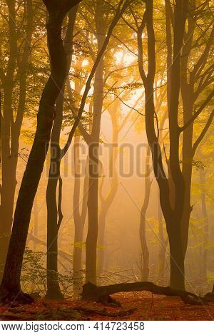 A Warm Morning Sunrise Between The Trees Of A Fog Covered Forest. The Photo Is Taken In The Speulder