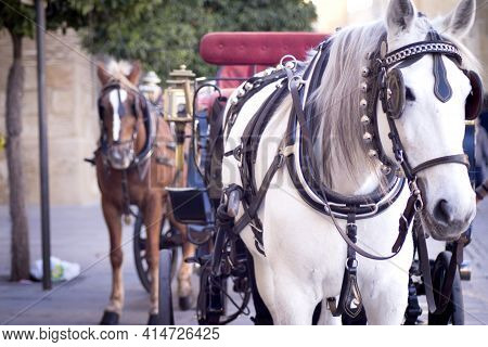 White Horse Used To Pull A Tourist Cart. No People
