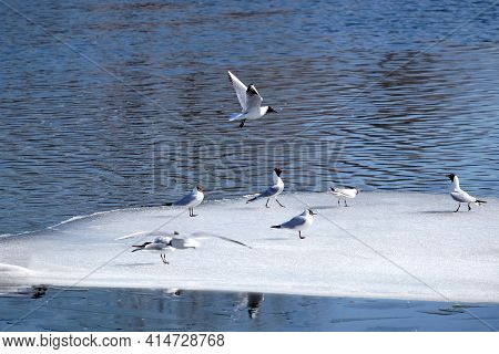 Wild Seagulls Sit On An Ice Floes Floating In Cold Blue Open Water In Bright Sunny Spring Day Horizo
