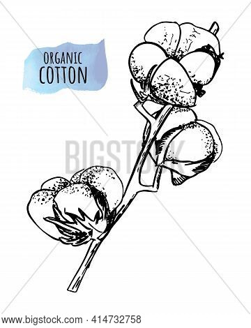 Hand Draw Ink Cotton Plant. Engraving Illustration. Can Be Used As Decor Ellement For A Rustic Weddi