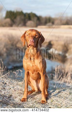 Purbred Vizsla Dog Sits In A Field By A Stream In Autumn