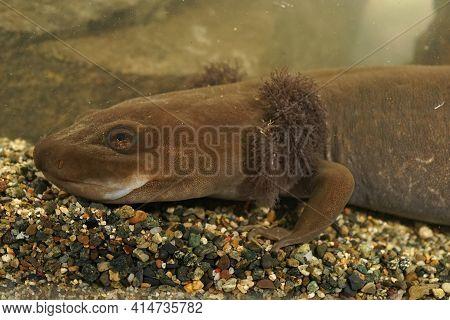 Closeup On A Large , 12 Inch Long, Neotenic Adult Coastal Giant Salamander , Dicamptodon Tenebrosus