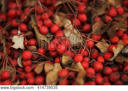 Red Ripe Hawthorn Fruits. Hawthorn Bunches Partially Dried. Hawthorn Fruit And Some Leaves Collected