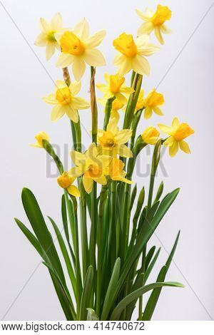 First Spring Yellow Blooming Flowers Narcissus Against White Background Close Up