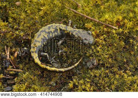 Closeup Of A Bright Colored  Juvenile Western Longtoed Salamander , Ambystoma Macrodactylum Macrodac
