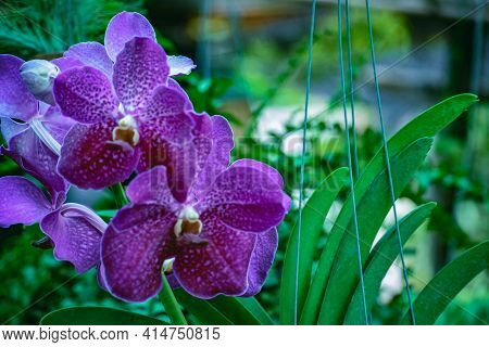 Beautiful Tropical Purple Branch Of Orchid Flower Phalaenopsis From Family Orchidaceae.selective Foc