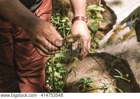 Extraction And Collection Of Edible Roots Of Wild Plants In The Forest. The Tourist's Hands Are Hold