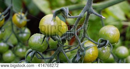 Green Unripe Cherry Tomatoes On The Vine Close Up.