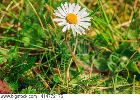 Meadow With Flower In Spring In Sunshine. Single Bloom Of Daisies With Green Smooth And Serrated Gra