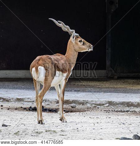 Indian Blackbuck, Antelope Cervicapra Or Indian Antelope. The Blackbuck Inhabits Grassy Plains And S