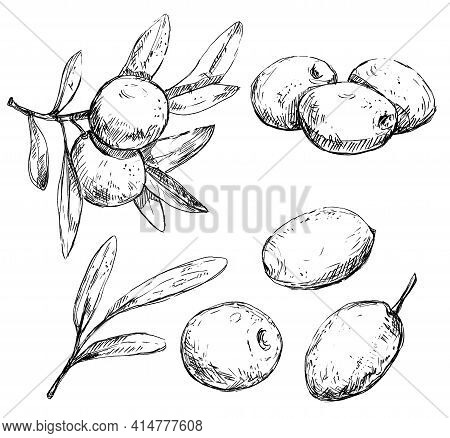 Olive Branches, Leaves And Berries Vintage Illustration