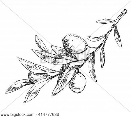 Olive Tree Branch With Leaves And Berries, Pen Drawing