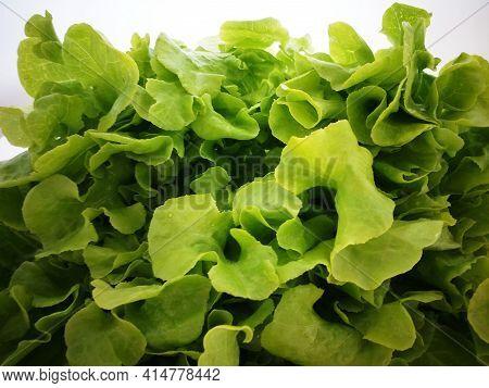 Salad Leaves Close Up. Green Lettuce Leaves Background. Detail Of Fresh Green Oak Lettuce. Healthy F